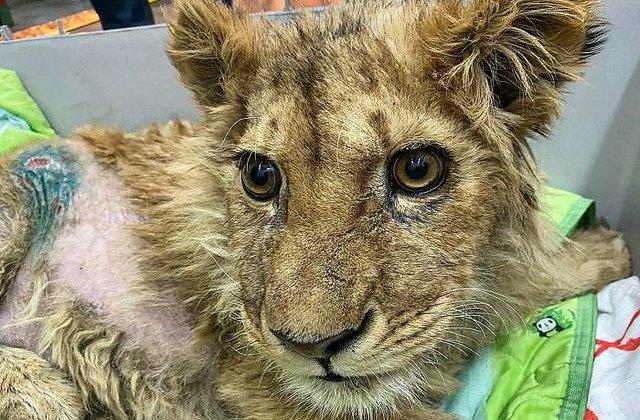 FOTO Pui de leu cu picioarele rupte forțat să facă poze cu turiștii