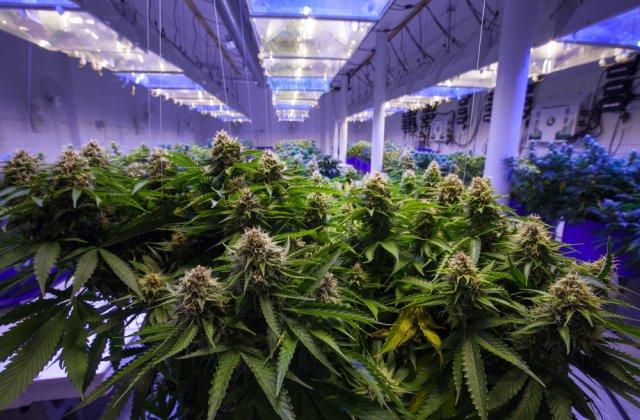 VIDEO Cultură de cannabis descoperită într-o locuință din județul Giurgiu
