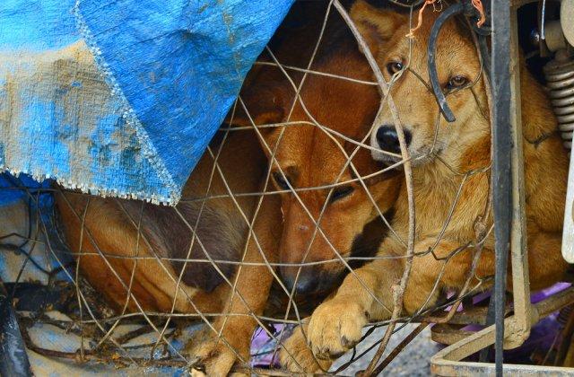 Statul indian Nagaland interzice vânzarea cărnii de câine. Animalele sunt bătuteîn mod regulat cu bâte de lemn