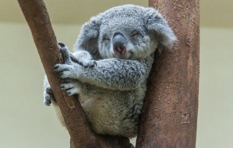 STUDIU Urșii koala, printre cele mai rare animale