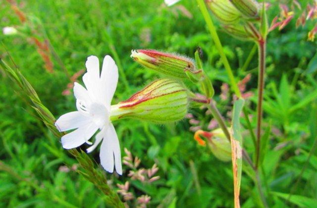 Această plantă a crescut dintr-o sămânță veche de 32 mii de ani