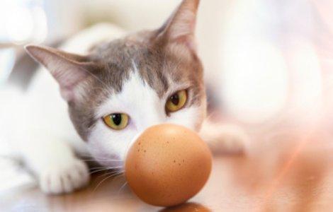 VIDEO Ce se întâmplă atunci când dai un ou unei pisici