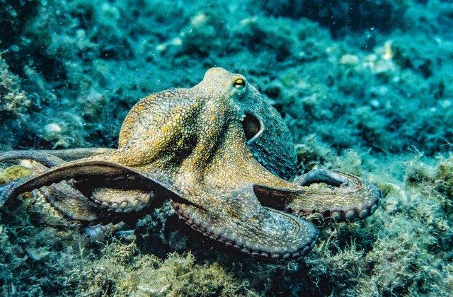 VIDEO Această caracatiță își schimbă culoarea atunci când visează