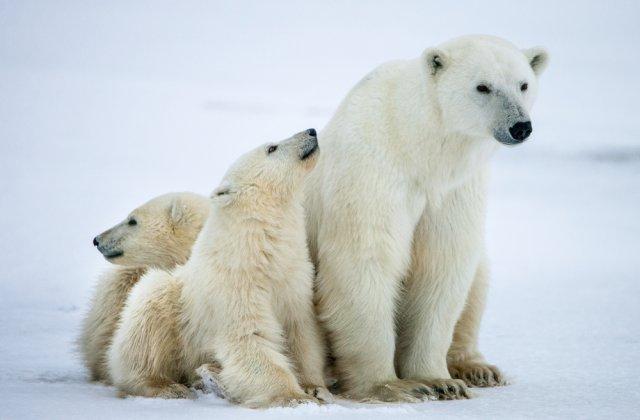 STUDIU Schimbările climatice vor ucide urșii polari până în 2100