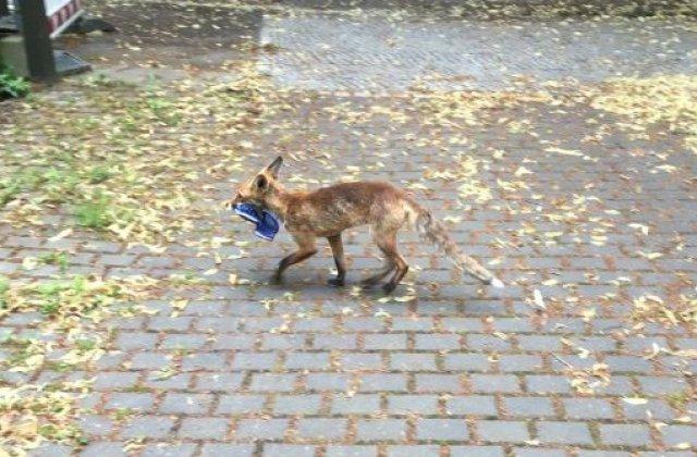 O vulpe a furat peste 100 de pantofi din case, într-un cartier din Berlin