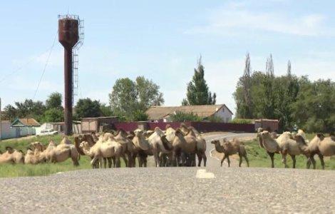 VIDEO Localnicii din 3 sate din Rusia, terorizați de cămile ce fac...