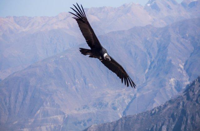 Condorul andin, pasărea uriașă care poate zbura 5 ore fără să dea din aripi