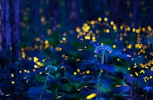 FOTO Dansul magic al licuricilor în pădurea de cireș