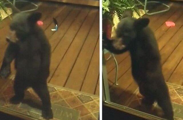 VIDEO Pui de urs certat de mamă pentru că trăgea cu ochiul în casele oamenilor