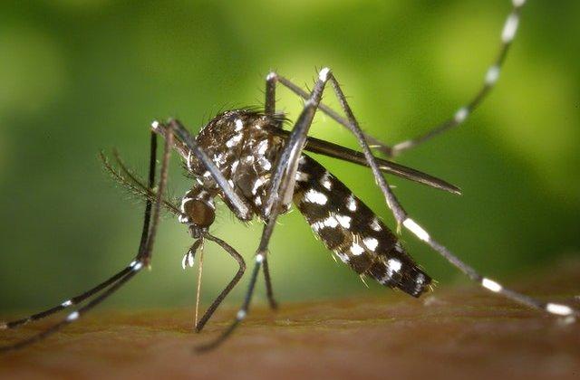 Țara în care vor fi eliberați 750 de milioane de țânțari modificați genetic