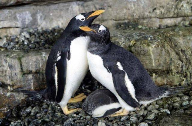 Doi pinguini de același sex au devenit părinții unui pui care a eclozat la un acvariu din Spania