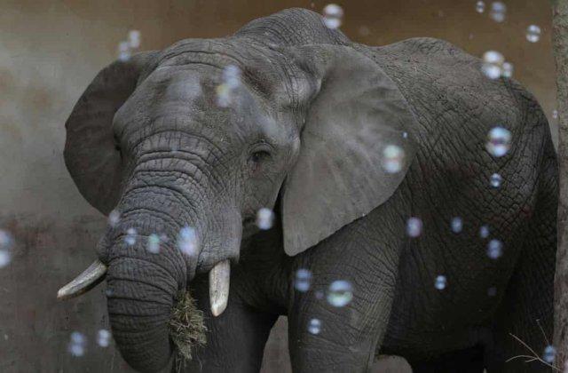 Elefanții stresați de la grădina zoologică din Varșovia vor primi marijuana medicală