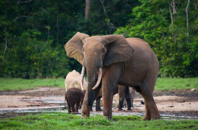 Braconier acuzat că a ucis peste 500 de elefanți, condamnat la 30 de ani de muncă silnică