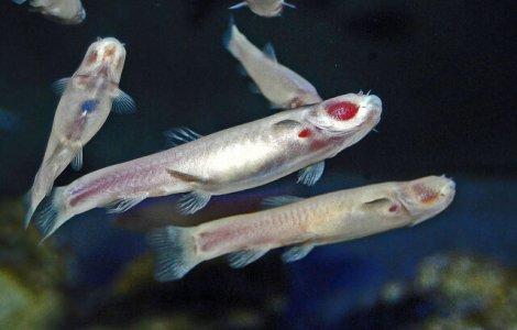 """Cel puțin 11 specii de pești ar putea """"merge"""" dacă ar vrea"""