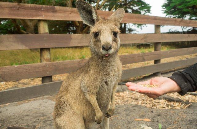 Caz șocant la Grădina Zoo din Timișoara! Șase canguri pitici au fost uciși de câini