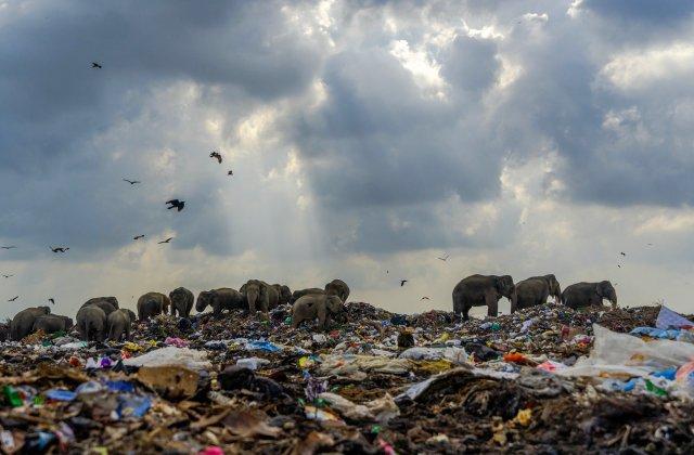 Imagine șocantă! O turmă de elefanți caută mâncare într-un munte de gunoaie