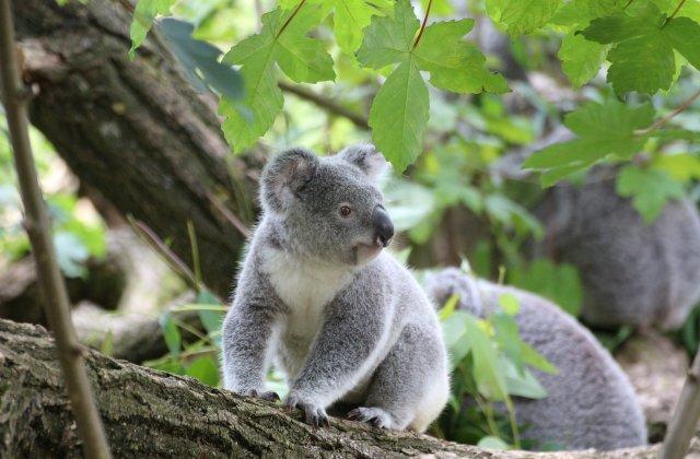 Habitatul urșilor koala, distrus pentru extinderea unei cariere de piatră