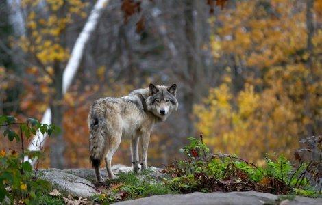 Lupii nu vor mai fi o specie protejată în Statele Unite