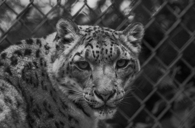 A plătit 150 de dolari pentru a fi mutilat de un leopard! Cum a ajuns bărbatul în această situație