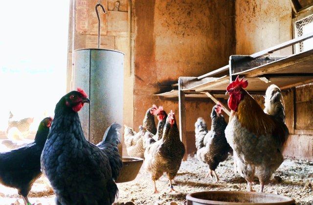 Olanda și Germania se luptă cu două focare de gripă aviară