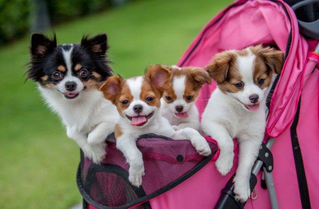 Animăluțe de buzunar: 5 rase de câini în miniatură, absolut adorabile