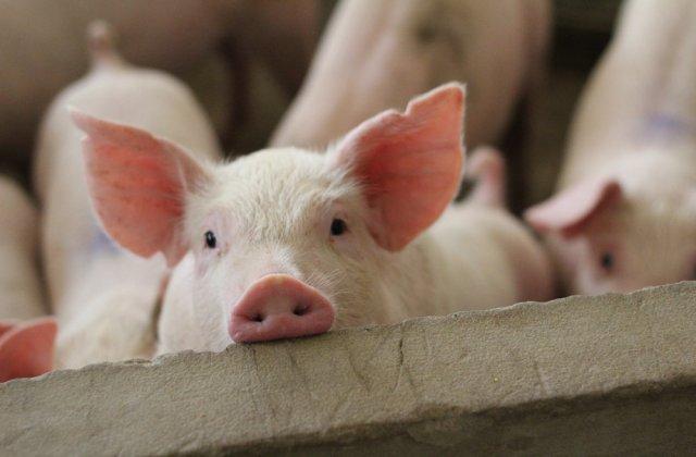 În județul Bacău evoluează 3 focare de Pestă Porcină Africană. Care sunt localitățile afectate