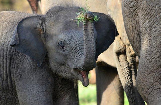 Autoritățile din Sri Lanka vor săpa șanțuri în jurul gropilor de gunoi pentru a ține elefanții flămânzi la distanță