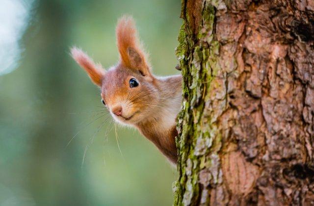 VIDEO: Spectacol făcut de o veveriță după ce a mâncat prea multe pere fermentate