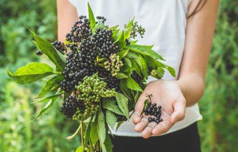 O plantă cunoscută este folosită de companiile farmaceutice în...