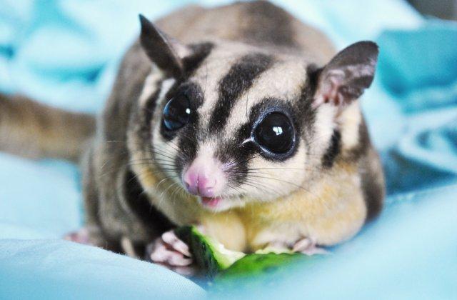 VIDEO: Un oposum pigmeu a fost descoperit pe Insula Cangurilor