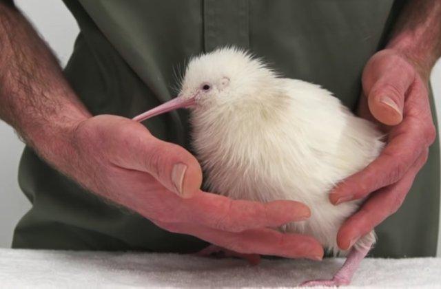 A murit Manukura, pasărea kiwi care a inspirat o carte și jucării cu chipul ei