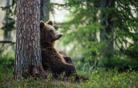 Un urs aflat în libertate se comportă de parcă ar fi captiv
