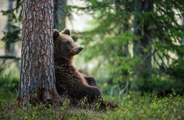 Imagini tulburătoare la Zărnești! Un urs aflat în libertate se comportă de parcă ar fi captiv