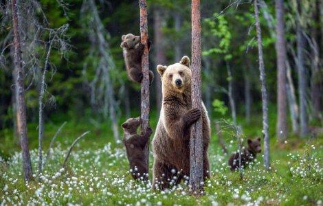 VIDEO: O ursoaică și puiul ei se urcă pe gardul unei vile din Bușteni
