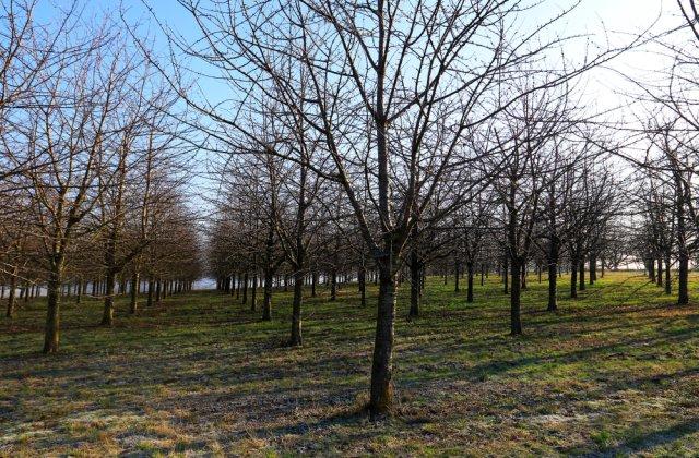 Întreținerea culturii de cireș iarna - ce lucrări agricole sunt necesare