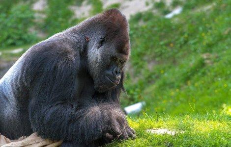 O gorilă bolnavă de Covid s-a vindecat după tratamentul bazat pe...
