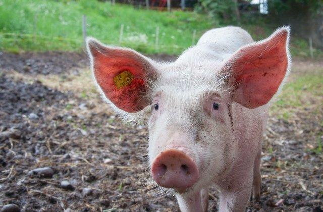 """Polițiștii din Sebeș au avut parte de o misiune specială: prinderea unui porc """"evadat"""" dintr-o remorcă"""