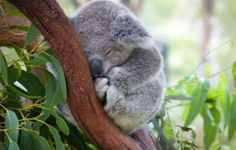 Un koala cu malformaţie congenitală poate să meargă datorită unei...