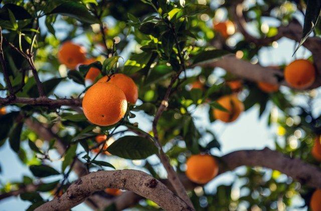 Transportul public din Sevilla va circula cu energia obținută din portocale