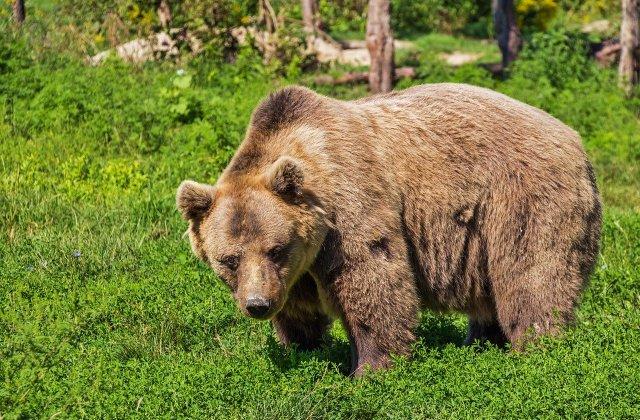 Un bărbat din Azuga care a plecat să alerge a fost găsit mort după ce ar fi fost atacat de un urs