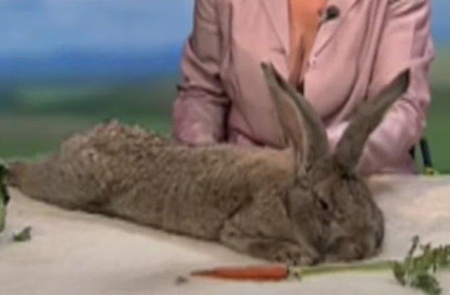 A fost furat cel mai mare iepure din lume!