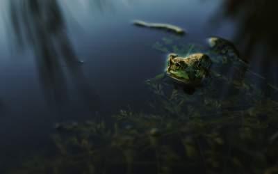 Specie nouă de broască,...