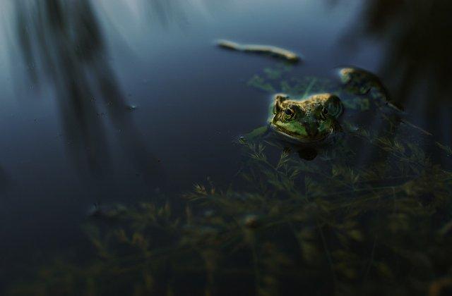 Specie nouă de broască, descoperită într-un parc natural din Amazonia