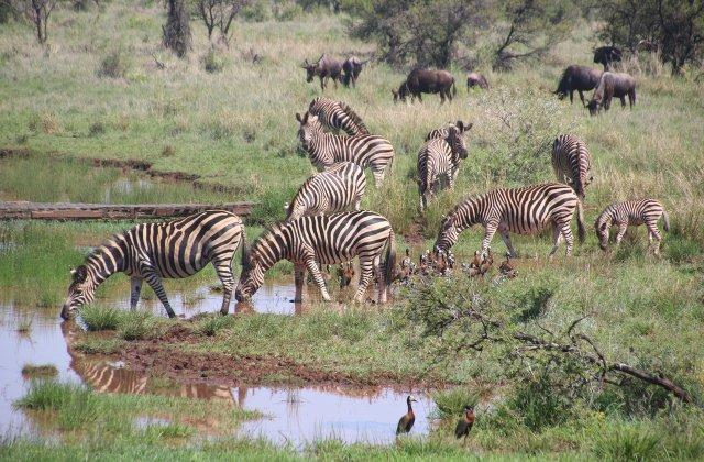 Un exemplar unic de zebră fără dungi a fost găsit în Namibia
