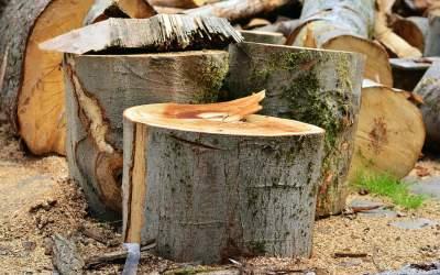 Harghita: Zeci de arbori care...