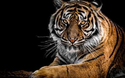 VIDEO Un tigru aflat în...