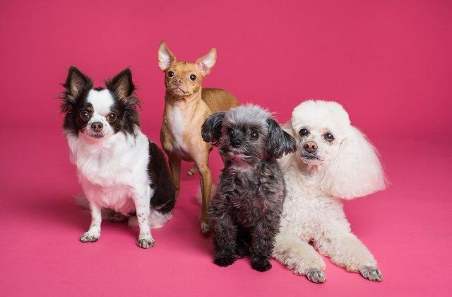Top 10 cele mai rare și unice rase de câini de pe Pământ