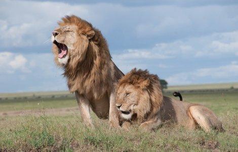 O leoaică din India a murit de COVID-19. Alți opt lei au fost...