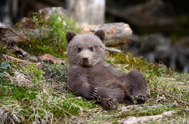 Un bărbat din Maramureș a fost reţinut pentru deţinerea unui pui de urs