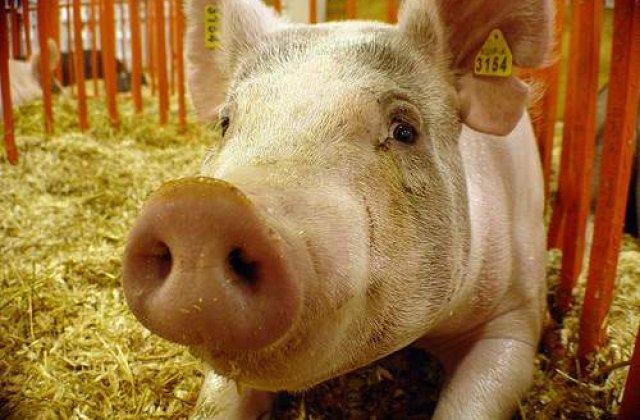 Porcii, capabili de stari emotionale complexe?